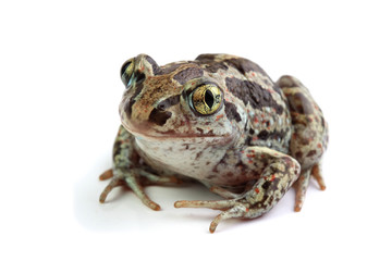 Toad with golden eyes on white