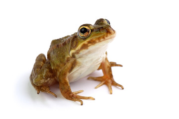 Marsh frog on white looking up