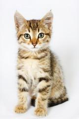 kitten sitting on white background