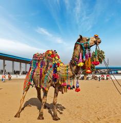 Camel at Pushkar Mela (Pushkar Camel Fair),  India