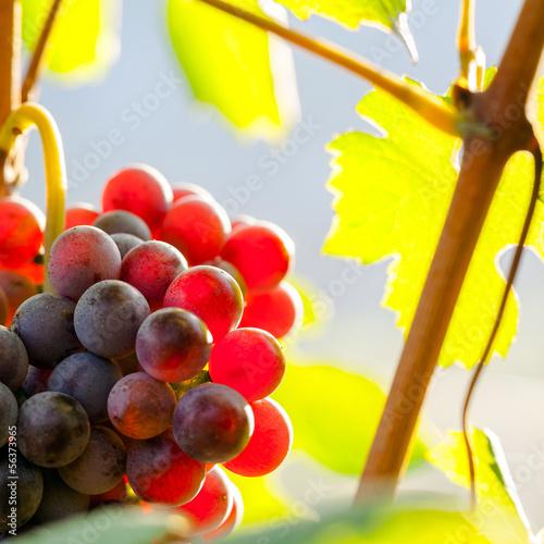 Fototapete grappolo di uva rossa controluce