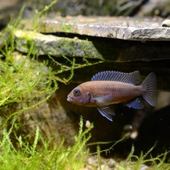 Cichlid fish in aquarium