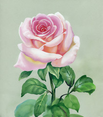 Rose pink. Watercolor Painting.