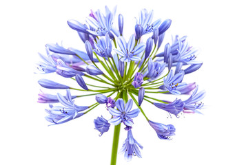 Bright blue Agapanthus flower isolated on white