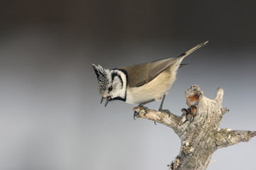 Fotoväggar - Crested tit, Parus cristatus