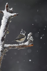 Wall Mural - Crested tit, Parus cristatus