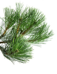 Close up of pine tree branch isolated on white