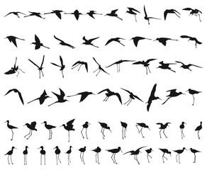 Sixty Black-winged Stilts
