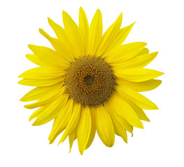 Isolated sunflower on the white background.