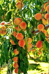 Fruit garden. Peach tree.