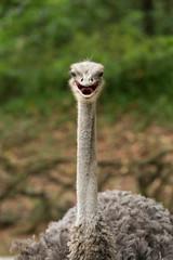 smile Struthio camelus