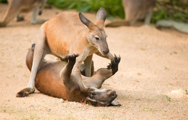 fighting kangaroo