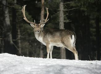 Fotoväggar - Fallow deer, Dama dama,