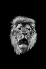 The head of a lion in black and white on a black background