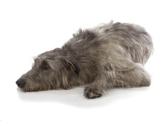 Fotobehang - Irish Wolfhound
