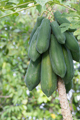 Papaya on the tree