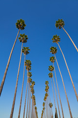 Fototapete - LA Los Angeles palm trees in a row typical California