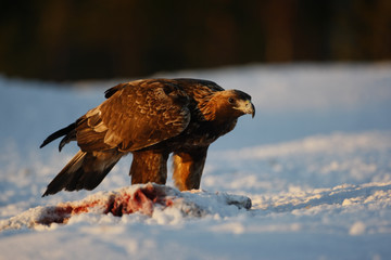 Fotoväggar - Golden eagle, Aquila chrysaetos