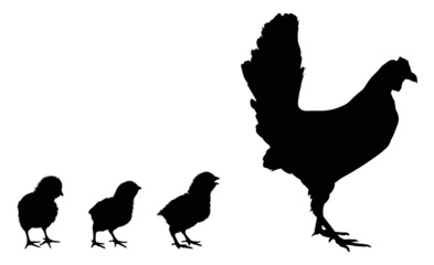 three newborn chickens and hen silhouettes isolated on white