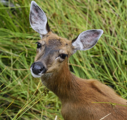 Whitetail Deer Female
