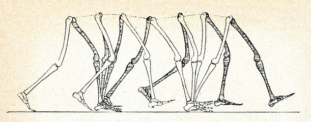 Human walking movements (W. Braune, O. Fisher)
