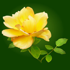 yellow rose on a green background