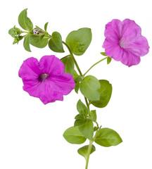 isolate petunia