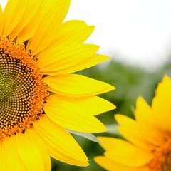 Image of beautiful sunflower