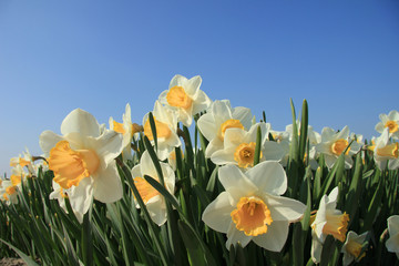 Garden Poster Narcissus White and yellow daffodils