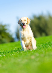 Running purebred golden retriever in the summer park