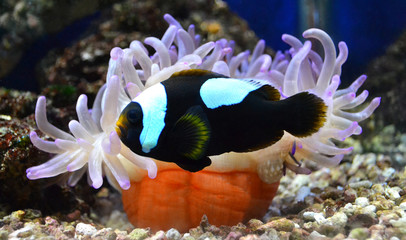 nemo fish and sea anemone