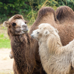 Photo Blinds Camel Verliefde kamelen