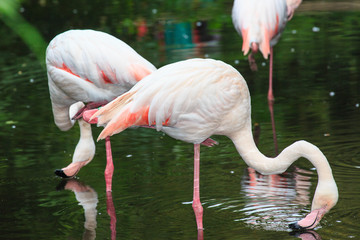 Acrylic Prints Kangaroo Europese flamingo