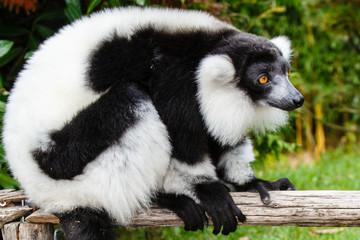 Foto auf Leinwand Kanguru Zwart-witte Vari