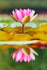 Blossoming water lily in a pond