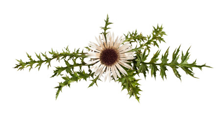 Fototapete - carline thistle