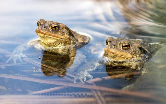Male toads in water, Bufo bufo