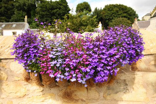 Hanging basket with lobelia flowers