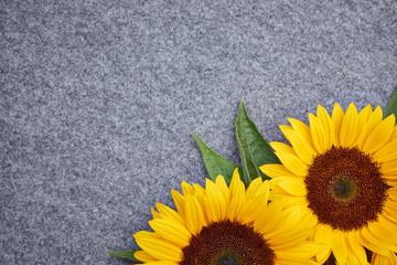 yellow sunflower on grey background