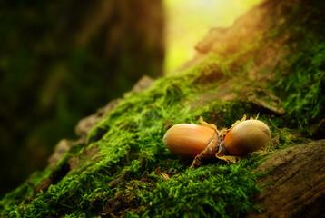 Hazelnuts on a mossy ground