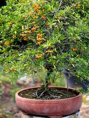 Bonsaibaum im Keramiktopf