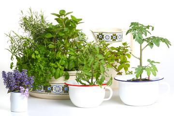 Küchenkräuter und Tomatenpflanzen vor weißem Hintergrund