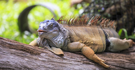 Iguana in the nature