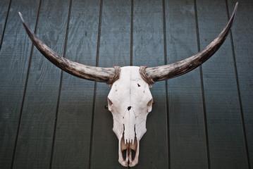 Mounted bull skull with horns