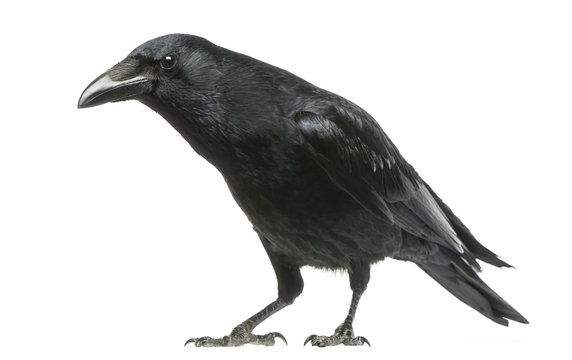 Carrion Crow with inquisitive look, Corvus corone, isolated