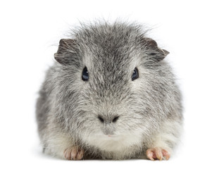 Swiss Teddy Guinea Pig facing, looking at the camera, isolated