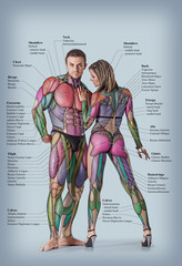 Anatomy of male and female muscular system