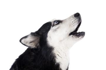 Siberian Husky howling