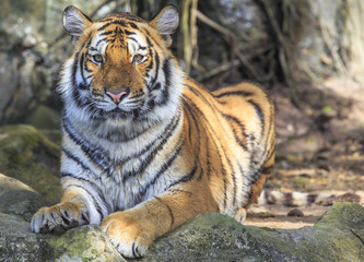 Closeup of a tiger