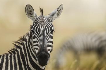 Papiers peints Zebra zebra